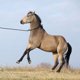 腾跃美丽的海湾的短距离冲刺的马 免版税库存图片
