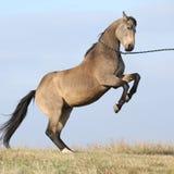 腾跃美丽的海湾的短距离冲刺的马 免版税库存照片