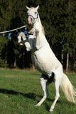 腾跃美丽的白色阿拉伯的公马 免版税图库摄影