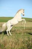 腾跃美丽的白色阿拉伯的公马 免版税库存照片