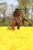 腾跃美丽的马 库存图片