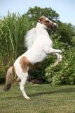腾跃美国微型的马 免版税库存图片