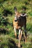 腾跃通过草甸的母鹿 库存照片