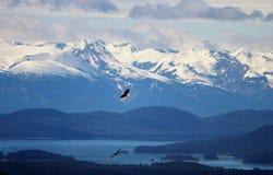 腾飞在与雪的树的两只白头鹰在阿拉斯加加盖了山 免版税库存图片