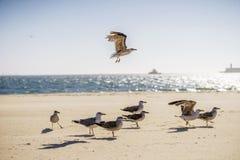 腾飞在其余的一只海鸥在海滩的鸟上 库存照片