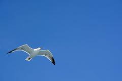 腾飞在沿边的海洋的鲱鸥北海轮渡 免版税图库摄影