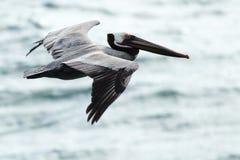 腾飞在海洋的布朗鹈鹕 库存图片