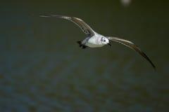 笑的鸥(Leucophaeus atricilla)在飞行中。 免版税图库摄影