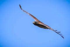 腾飞在蓝天的蛇老鹰 免版税库存照片