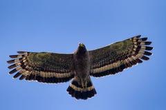 腾飞在蓝天的蛇老鹰 免版税库存图片