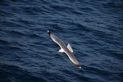 腾飞在蓝色海洋表面的海鸥 库存照片