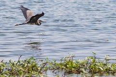 腾飞在水的伟大蓝色的苍鹭的巢 库存图片