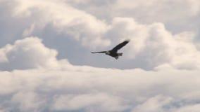 腾飞通过松的白色云彩的老鹰 股票录像