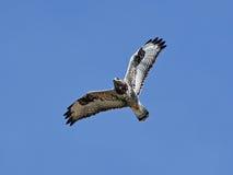 腿上有毛的肉食& x28; 鵟鸟lagopus& x29; 免版税图库摄影