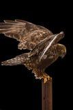 腿上有毛的被隔绝的鹰outstetched翼 免版税库存照片
