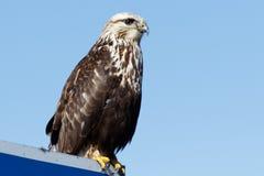 腿上有毛的鹰坐标志 库存图片