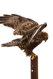 腿上有毛的鹰着陆被隔绝的白色 免版税图库摄影