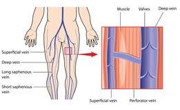 腿的深和表面静脉 免版税库存照片