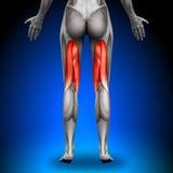 腿筋-女性解剖学肌肉 库存照片