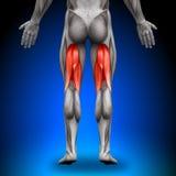 腿筋-解剖学肌肉 免版税库存图片