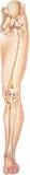 腿-从臀部到显示骨头和联接的脚趾 库存照片