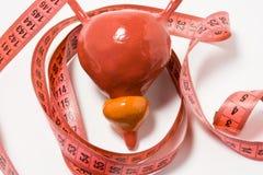 膀胱和前列腺的测量作为症状的定义或疾病症状, e g 前列腺肥大 膀胱和前列腺方式 免版税库存照片