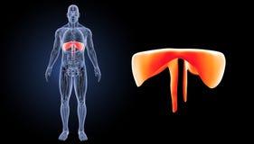 膜片徒升有解剖学先前视图 库存例证