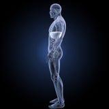 膜片有解剖学侧面视图 皇族释放例证