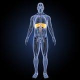 膜片有解剖学先前视图 库存例证