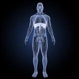 膜片有解剖学先前视图 皇族释放例证