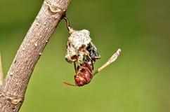 膜翅目昆虫 图库摄影