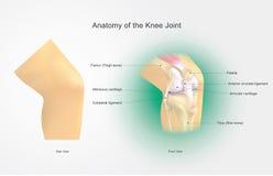 膝盖关节的解剖学 免版税库存图片