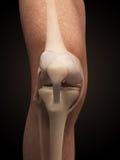 膝盖的解剖学 库存图片