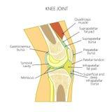 膝盖的解剖学 库存例证