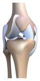 膝盖解剖学 库存照片