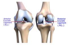 膝盖骨头和腱的解剖学。 免版税库存图片