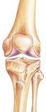 膝盖-联接和骨头 库存照片
