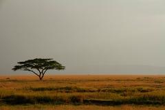 膨胀的有薄雾的天空的孤立金合欢结构树 免版税库存图片