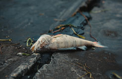 膨胀,死者,被毒害的鱼在河岸的海藻说谎 库存照片