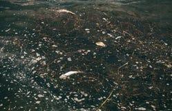 膨胀,死者,被毒害的鱼在河的岸附近游泳 危机生态学环境照片污染 免版税库存图片