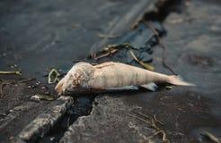 膨胀,死者,被毒害的鱼在河的河岸说谎 库存图片