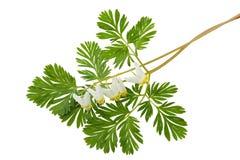 臀先露cucullaria荷包牡丹属植物荷兰男人s 免版税库存照片