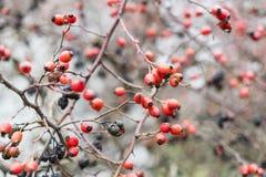 臀部丛生用成熟莓果 一dogrose的莓果在灌木的 野生玫瑰果子  棘手的dogrose 臀部红色上升了 红色 库存照片