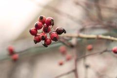 臀部丛生用成熟莓果 一dogrose的莓果在灌木的 野生玫瑰果子  棘手的dogrose 臀部红色上升了 红色 免版税库存照片