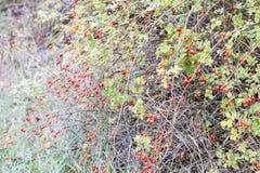 臀部丛生用成熟莓果 一dogrose的莓果在灌木的 野生玫瑰果子  棘手的dogrose 臀部红色上升了 库存照片