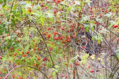 臀部丛生用成熟莓果 一dogrose的莓果在灌木的 野生玫瑰果子  棘手的dogrose 臀部红色上升了 免版税库存照片