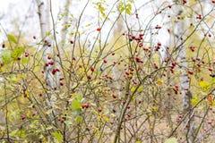 臀部丛生用成熟莓果 一dogrose的莓果在灌木的 野生玫瑰果子  棘手的dogrose 臀部红色上升了 免版税库存图片
