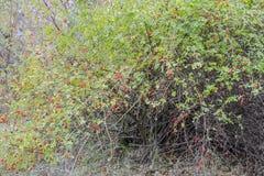 臀部丛生用成熟莓果 一dogrose的莓果在灌木的 野生玫瑰果子  棘手的dogrose 臀部红色上升了 库存图片