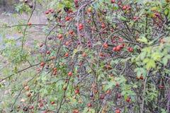 臀部丛生用成熟莓果 一dogrose的莓果在灌木的 野生玫瑰果子  棘手的dogrose 臀部红色上升了 图库摄影