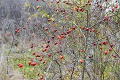 臀部丛生用成熟莓果 一dogrose的莓果在灌木的 野生玫瑰果子  棘手的dogrose 臀部红色上升了 免版税图库摄影